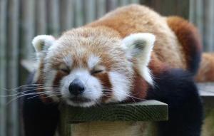 Red+Panda
